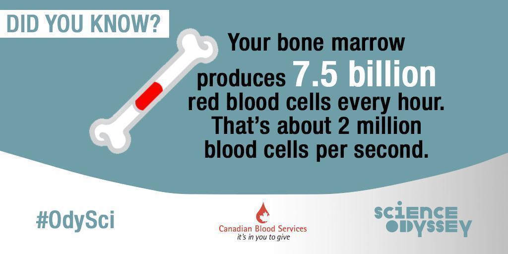 Science Odyssey 2016 - bone marrow