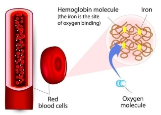 Hemoglobin and Iron