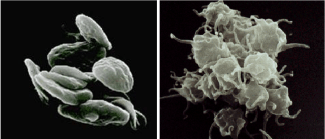 Resting platelets (left) and activated platelets (right)